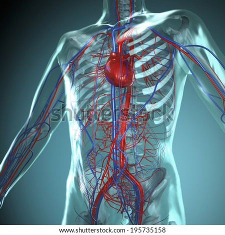 transparent human body with heart and cardiovascular circulatory - stock photo