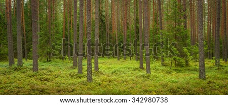transparent pine forest, shot as background - stock photo