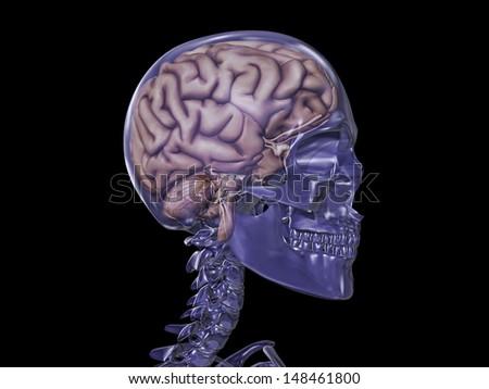 Transparent Skull with Brain - stock photo