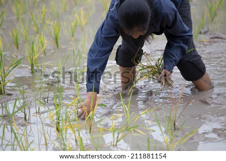 transplant in the paddy field