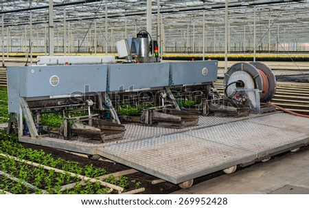 Transplanter for chrysanthemum cuttings is ready for the start of work in a specialized chrysanthemum nursery in a greenhouse. - stock photo