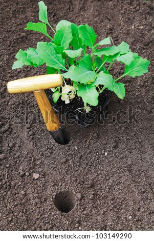 Transplanting young seedlings in the garden with an auger for making neat tapered holes in the ground - stock photo