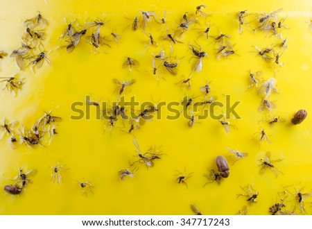 trapped fungus gnats and beetles (glue panel)