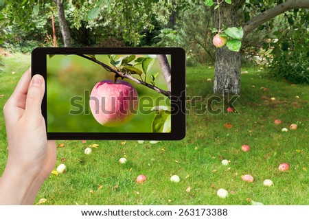 travel concept - tourist takes picture of ripe pink apple close up in fruit orchard on smartphone, - stock photo