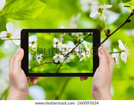 travel concept - tourist taking photo of cherry flowers in green woods in spring on mobile gadget - stock photo