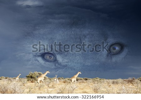 travel, safari or hunting background with lion eyes in a dark grey african sky watching giraffes in the savanna.  - stock photo