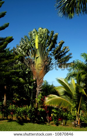 Traveling Palm has fan shaped fronds.  Blue sky and lush vegetation.
