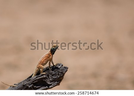 Tree Agama look out - stock photo