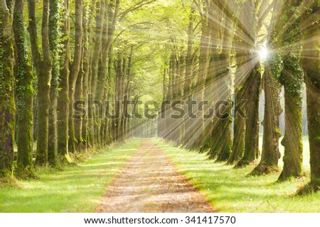 tree alley with small track and sunrays - stock photo