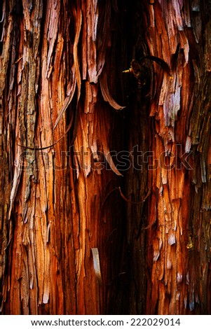 Tree bark of a cypress tree, Chamaecyparis obtusa (Japanese cypress, hinoki cypress,  hinoki) - stock photo