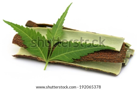 Tree bark of Medicinal Neem with leaves over white background - stock photo
