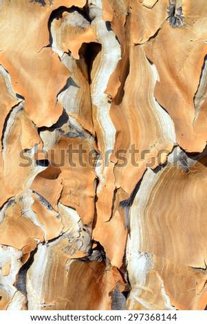 Tree Bark, Quiver Tree, Keetmanshoop, Namibia - stock photo