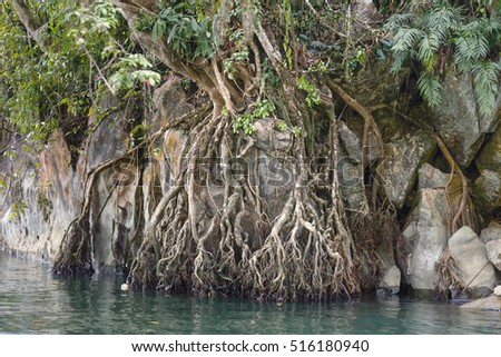 Tree beam roots clings to the rocky cliff at Ba Be lake in national park in Bac Kan province, Vietnam