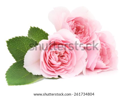 Tree beautiful pink roses on a white background  - stock photo