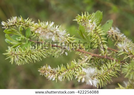 tree branch in the  spring with young green leaves and fluffy shoots - stock photo