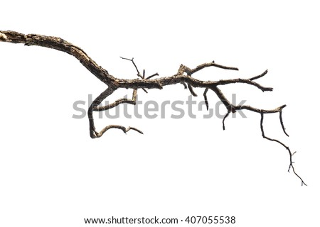 Tree branch isolated on white background - stock photo