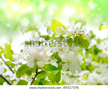 Tree branch with cherry flowers over green background