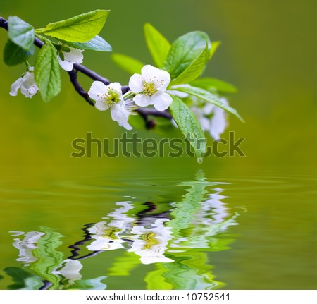 Tree branch with cherry flowers reflecting in the water, shallow focus - stock photo