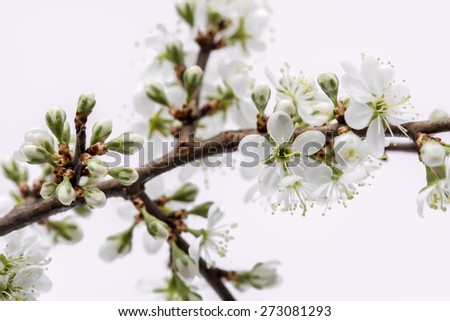 Tree branch with sour cherry blossom on white background. Sour cherry blossom.