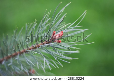 tree branches forest. Pine branches. Pine branches. Pine branches