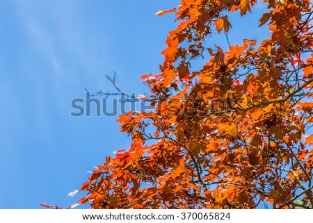 Tree branches full of beautiful vibrant red leaves in autumn blue sky background - stock photo