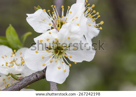 Tree brunch with  plum flowers in spring time. Spring blossoms background. selective focus. - stock photo