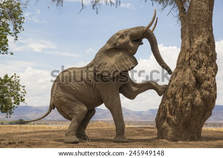 Tree-climbing African Elephant bull in Mana Pools, Zimbabwe - stock photo