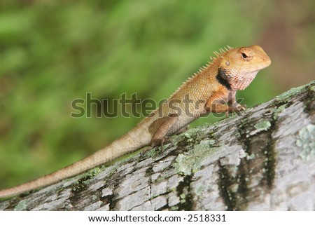 Tree Climbing Wood Lizard Resting On Coconut Tree