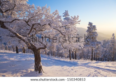 Tree covered with snow bizarre in the winter forest