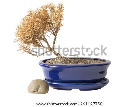 tree dry in pot decorative concept. - stock photo