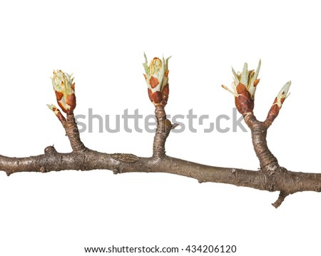 Tree  flower buds and one leaf bud on pear twig ready to bloom, isolated on white - stock photo