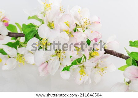 tree flower buds isolated on white background