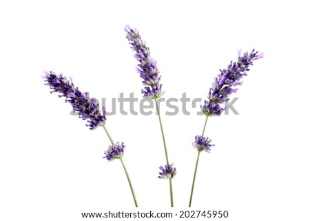 Tree fresh lavender isolated on white background .Studio shot.