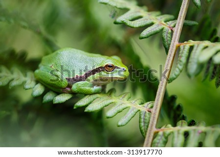 Tree frog - stock photo