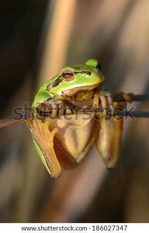 Tree-frog balancing on reeds.