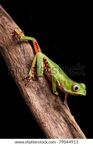 tree frog crawling on branch in tropical jungle of amazonian rain forest Brazil this beautiful amphibian lives at night it is a monkey treefrog Phyllomedusa vailanti - stock photo