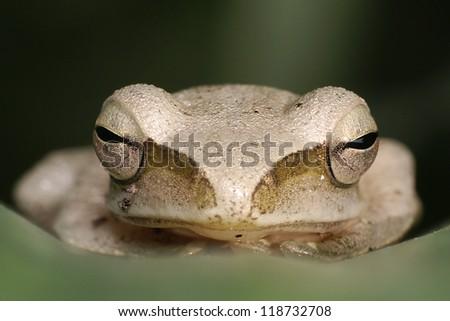 Tree frog - daytime sleeping - stock photo