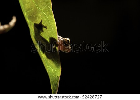 tree frog dendropsophus leuceophyllatus sitting on a leaf near a bolivian pond on black background at night in rain forest