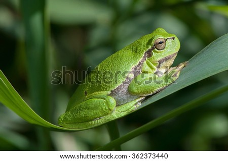 Tree frog enjoy the sun on a reed leaf - stock photo