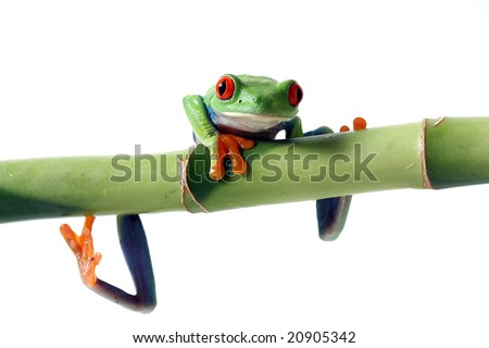 Tree Frog hanging from Bamboo. - stock photo
