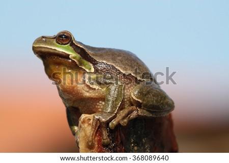 Tree frog (Hyla arborea) - stock photo