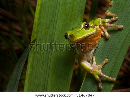 tree frog Hyla arborea sitting next to a pond green treefrog endangered european amphibian macro with copy space  nocturnal night animal climbing on leaf - stock photo
