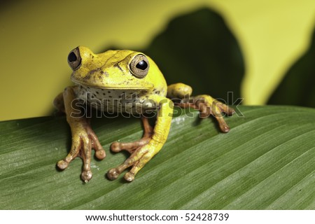 tree frog hypsiboas geografica amphibians are nocturnal endangered animals need nature conservation background copy space tropical amazon Bolivia rain forest amphibia in tropical jungle