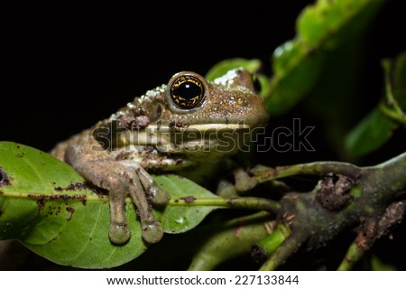 Tree frog in Amazon jungle, Iquitos, Peru.