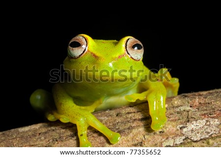 tree frog in Brazil tropical amazon rain forest beautiful night animal and endangered amphibian green frog big red eyes Hypsiboas cinerescens black background treefrog with bright vivid colors - stock photo