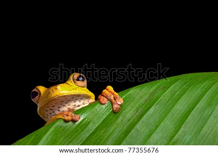 tree frog in Brazil tropical amazon rain forest night animal endangered amphibian green frog hiding behind palm leaf in dark jungle Hypsiboas geografica on black background jungle treefrog exotic frog - stock photo