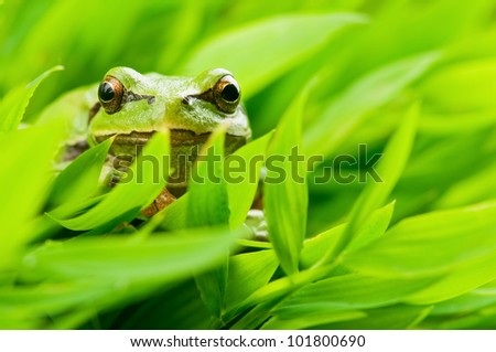 tree frog in grass closeup - stock photo