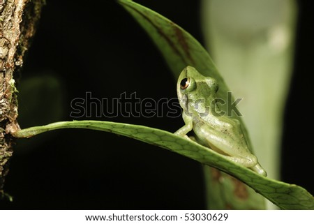 tree frog in rainforest sitting at night on a leaf looking up copy space