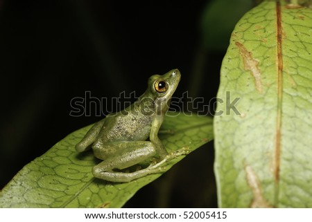 tree frog in the Bolivian rain forest sitting at night on a green leaf