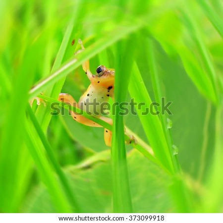tree frog in the grass with dew, Ghana - stock photo